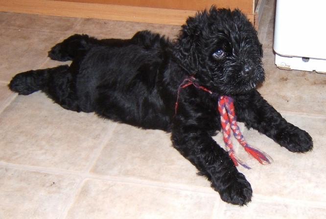 Black Russian Terrier breeder - Pinnacle BRT - Washington