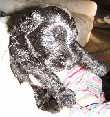 Black_Russian_Terrier_puppy