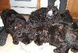 Black Russian Terrier puppy