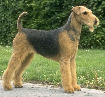 Black Russian Terrier - Airedale