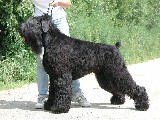 black russian terrier kris