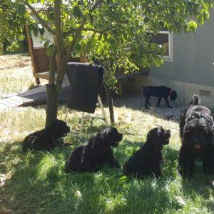 black russian terrier babbies